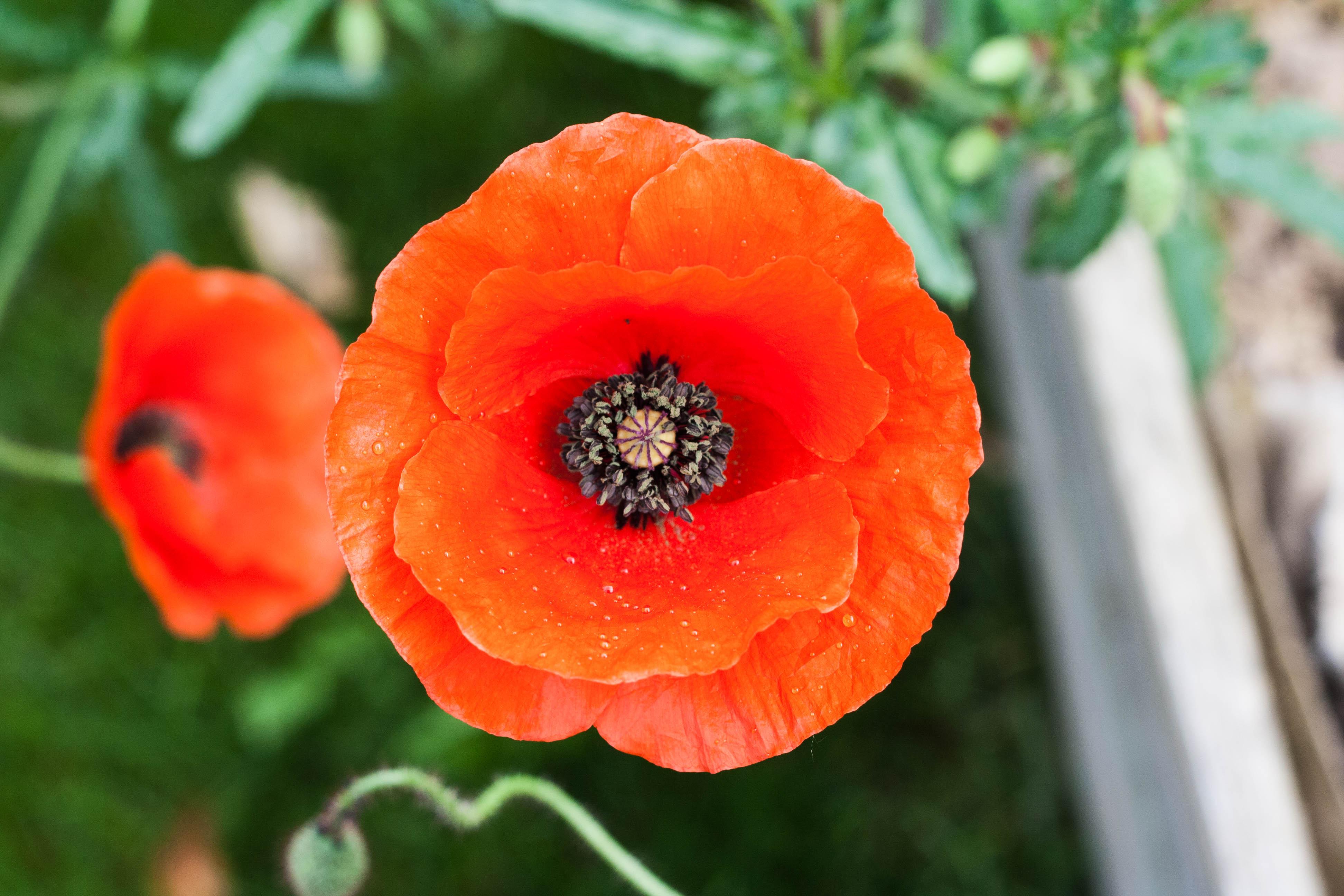 Planter Des Coquelicots Dans Son Jardin ces coquelicots qui m'inspirent, du salon à l'atelier!